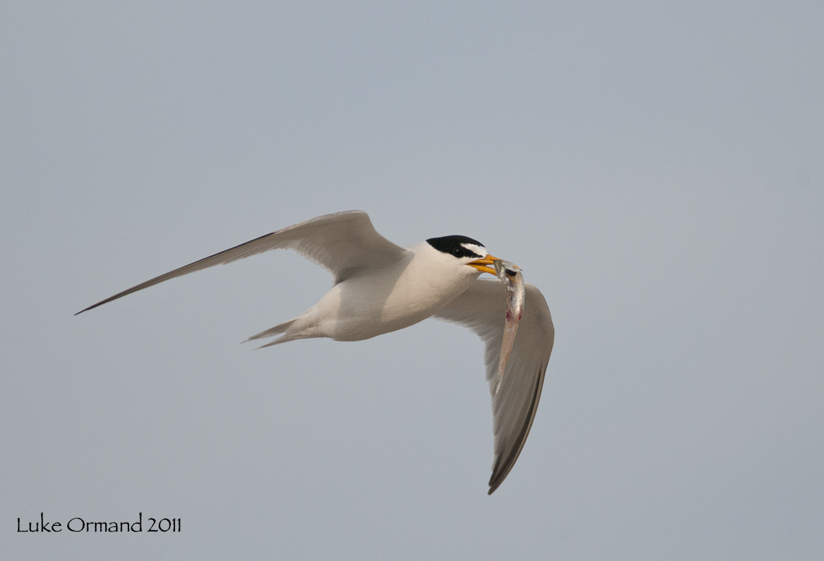 welcome to more least terns