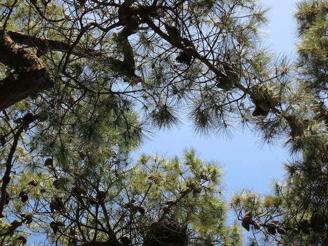 Looking up through the cones and branches of a tree to the blue sky beyond.