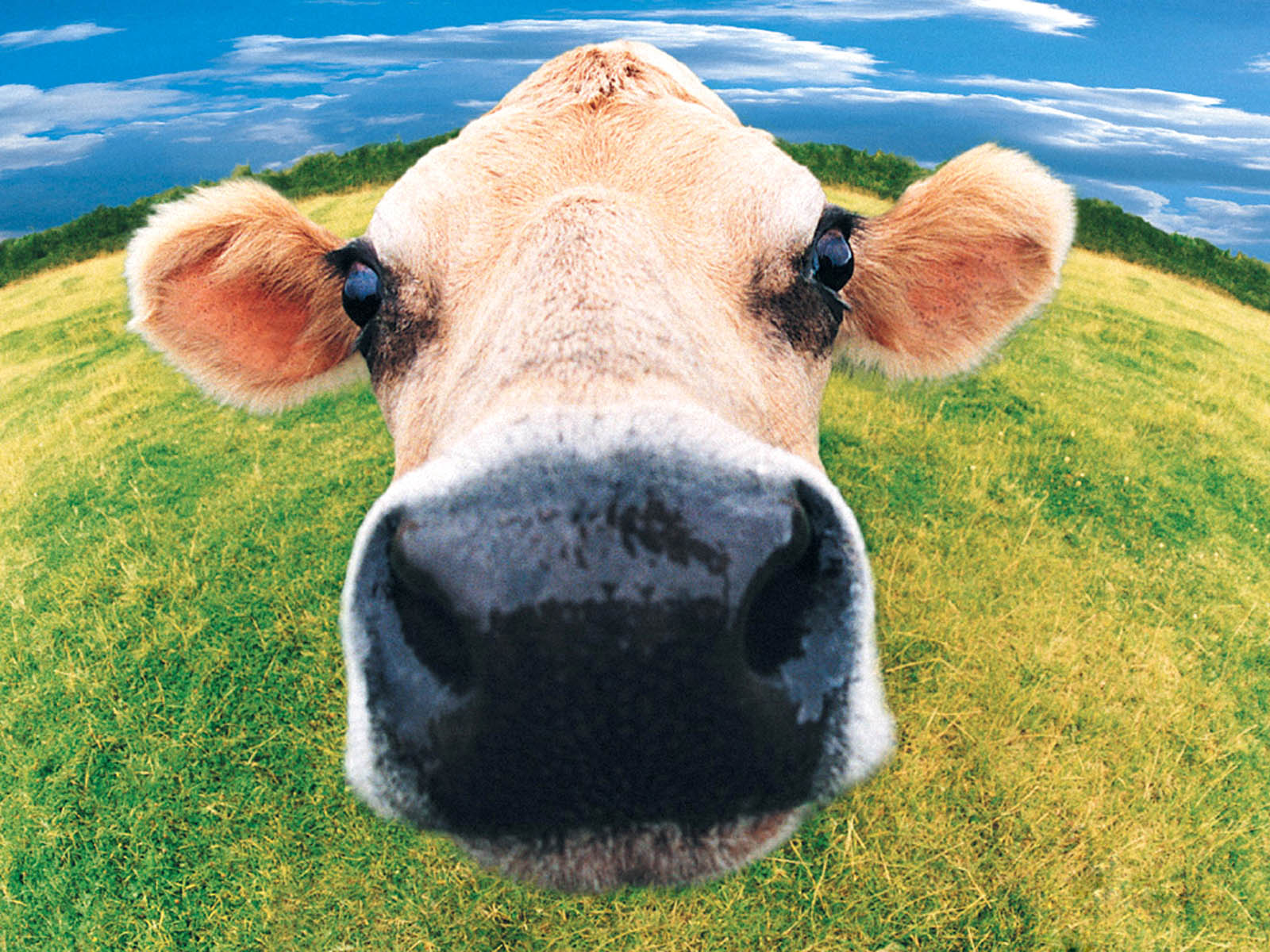 wallpapers funny farm animals