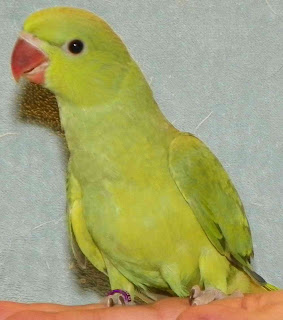 Baby Suns & Ringnecks Available Green+3