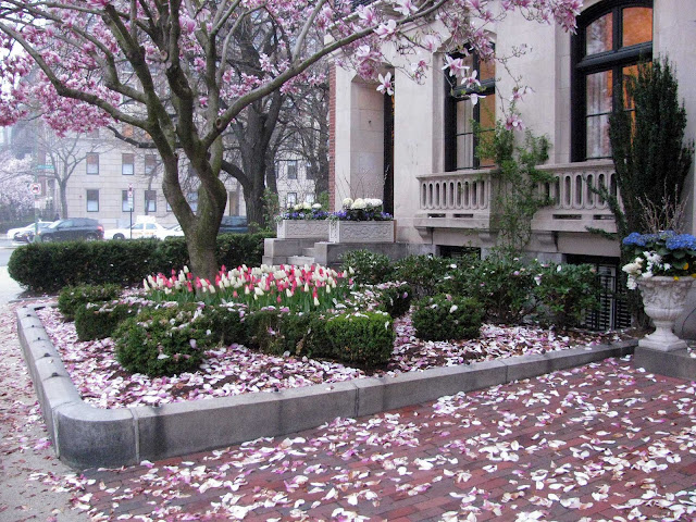 Blooming-Magnolia-Tree-in-Boston
