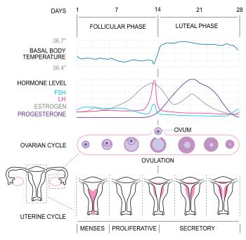ciclo-menstrual-embarazo