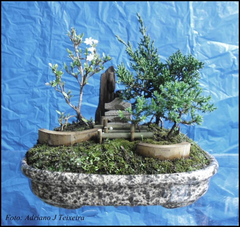 mini jardim oriental:Blog Clik : Bonsai de tuia nana, tuia jacré e jupineu.