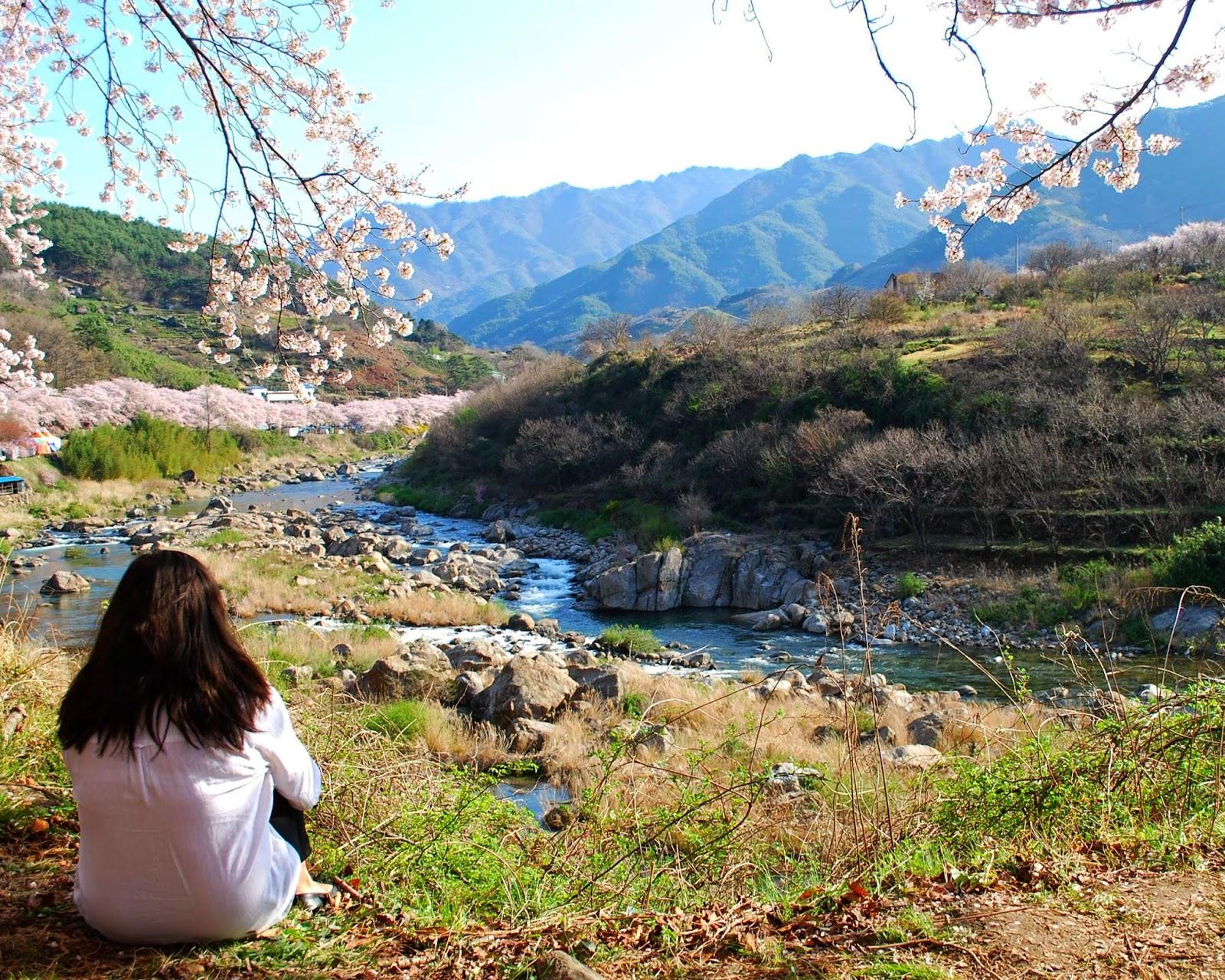 cherry-blossoms-in-korea