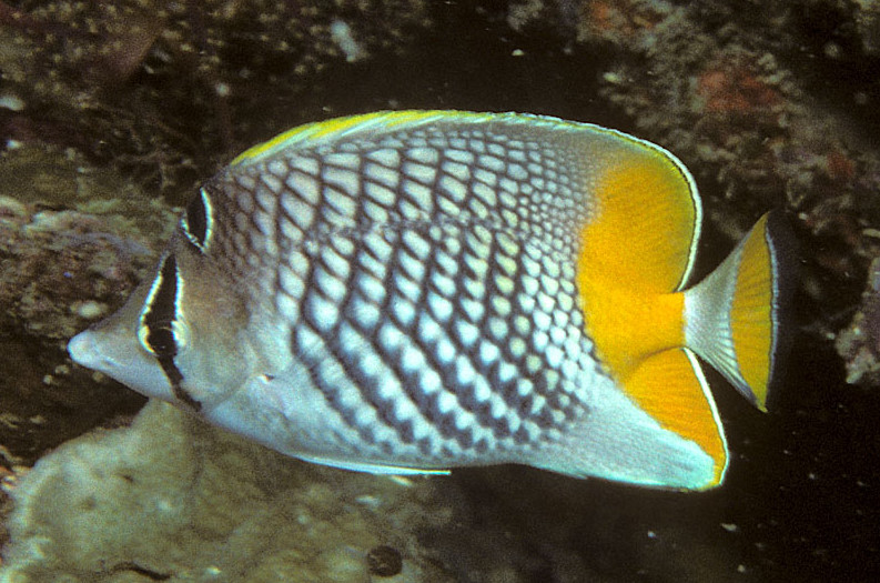 Fish Index: Pearlscale Butterflyfish (Chaetodon xanthurus)