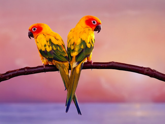 Periquitos de Colores en Pareja Aves Exoticas