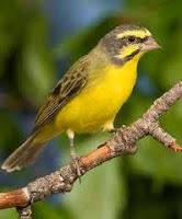 Burung Import sekelas kenari