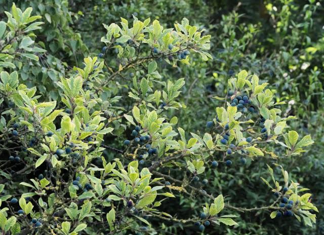 Ripening blackthorn berries