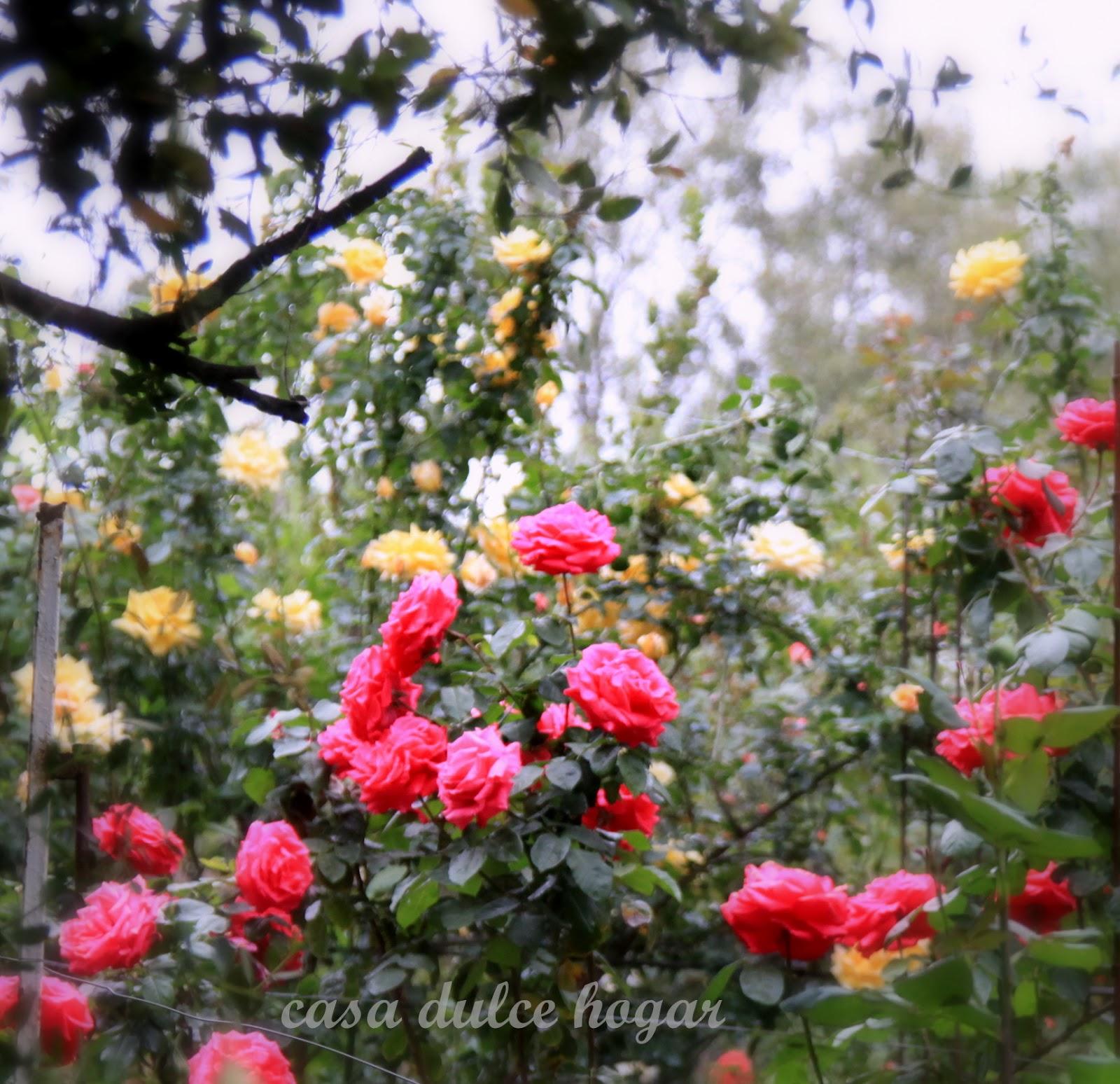 Casa dulce hogar rosas de mi jard n en verano for Ahuyentar gatos de mi jardin