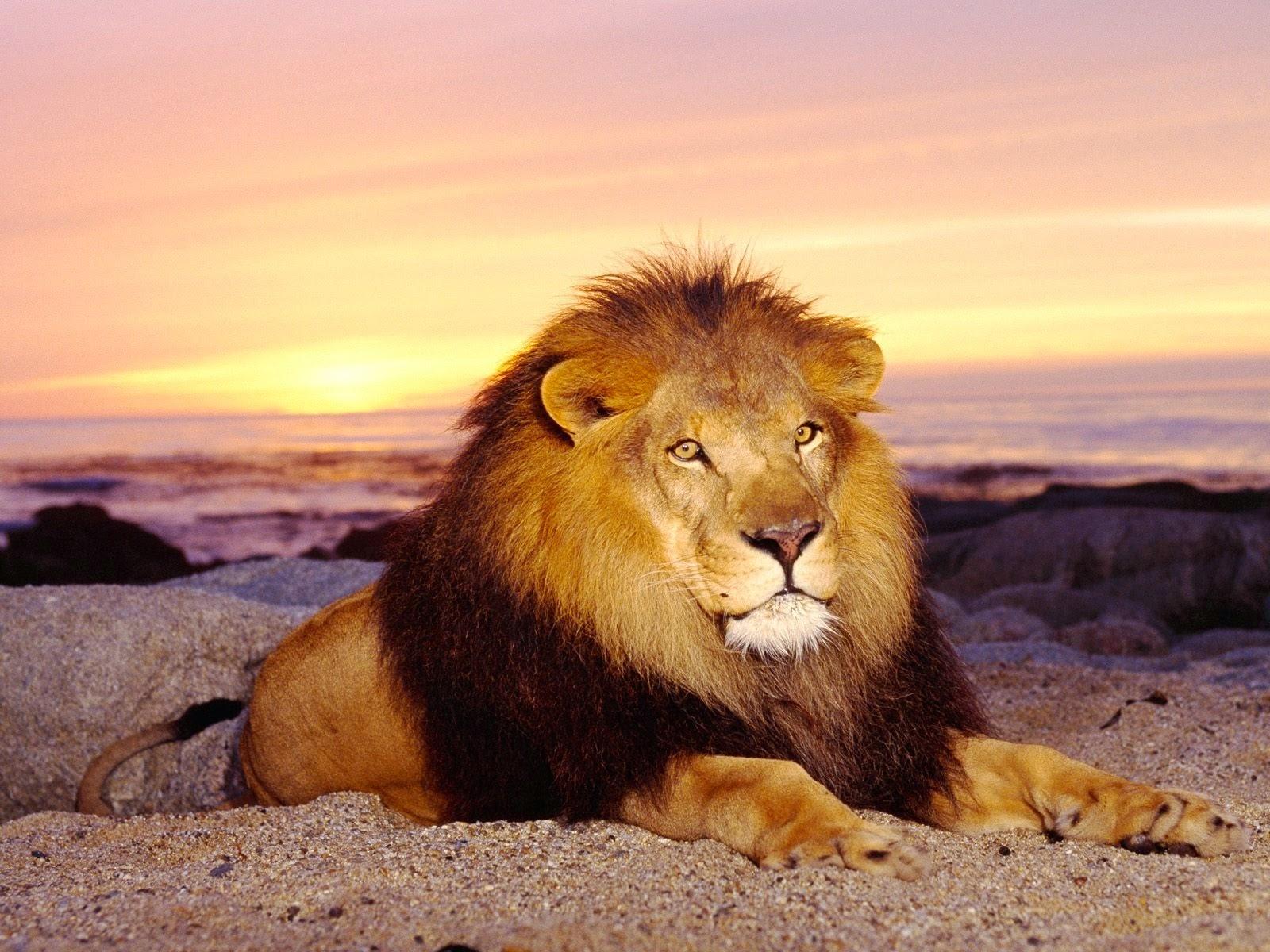 gambar wallpaper singa di padang pasir