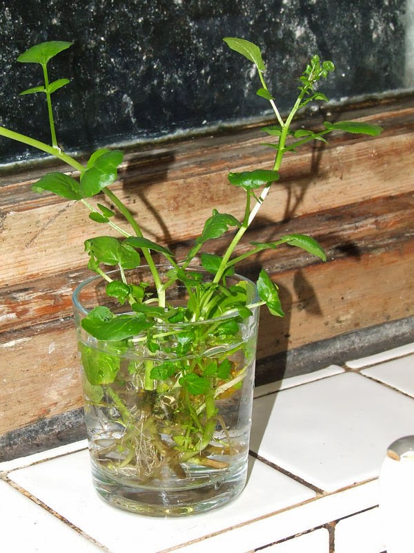 Watercress forming roots
