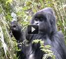 Rwanda part 8 - Gorillas in Volcanoes National Park