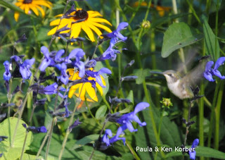 hummingbird and black and blue salvia