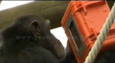 Film Dokumenter karya sekelompok simpanse di Inggris