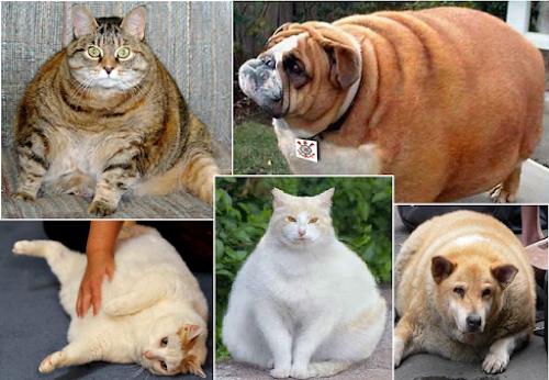 Animais domésticos estão mais obesos