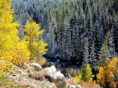 Confusion of Seasons with Aspen trees in autumn finery and evergreens covered in snow