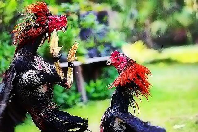 Penjualan Ayam Aduan