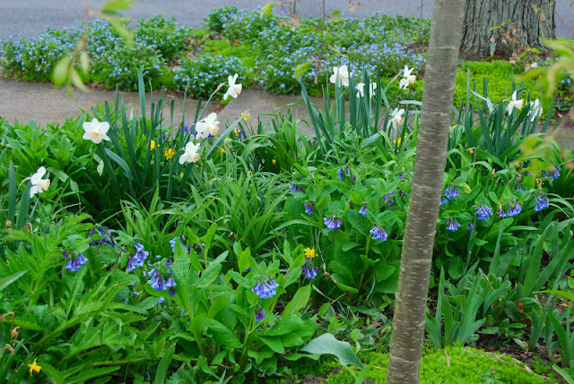 Over-head view of the Cherry Corner garden looking to the Front Woodland in the curb strip: Mertensia virginica and Narcissus 'Pink Charm'. Forget-me-nots (Myosotis) in the Front Woodland.