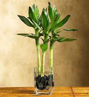 Lucky Bamboo Is A Highly Popular Houseplant That Is Readily Available At  Most Home Improvement Stores. Often Sold With Twisted Or Braided Stems, ...