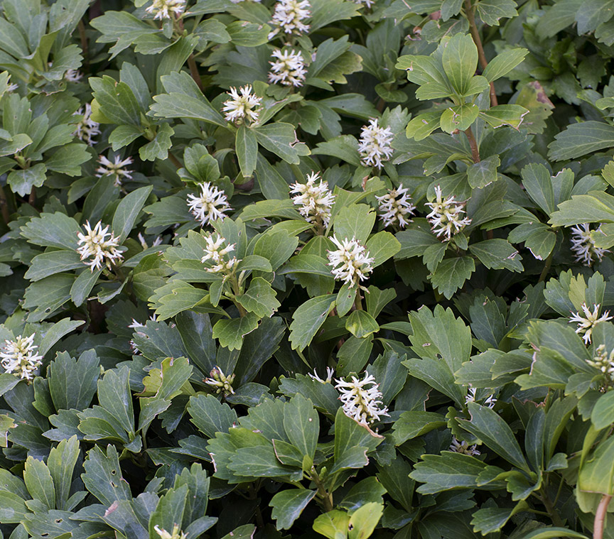 Ferida 39 S Backyard Groundcover Plants Add To A Garden