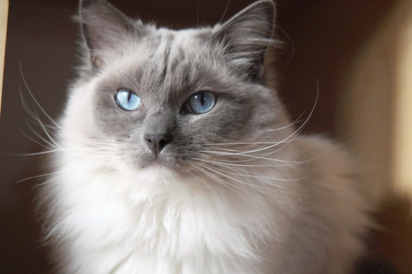 Care of ragdoll cat