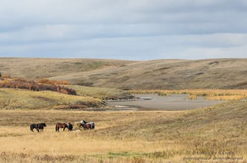 Horses on the Canadian Prairies © Shelley Banks, all rights reserved.
