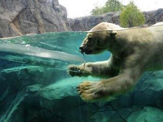 Polarni medvjed u vodi slike besplatne pozadine za mobitele download
