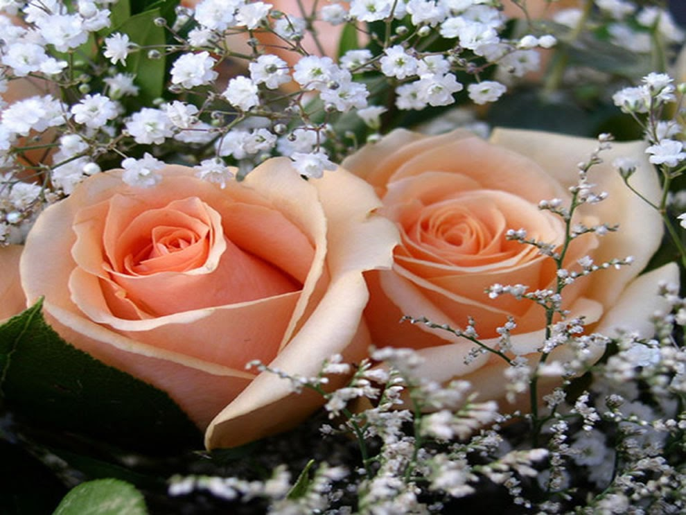 Flowers world peach roses for What colour roses can you get