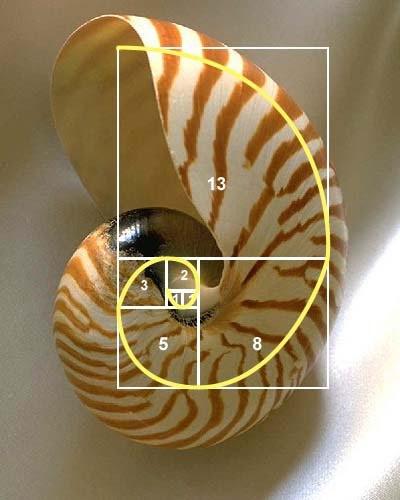 deniz kabuğu altın oran ile ilgili görsel sonucu