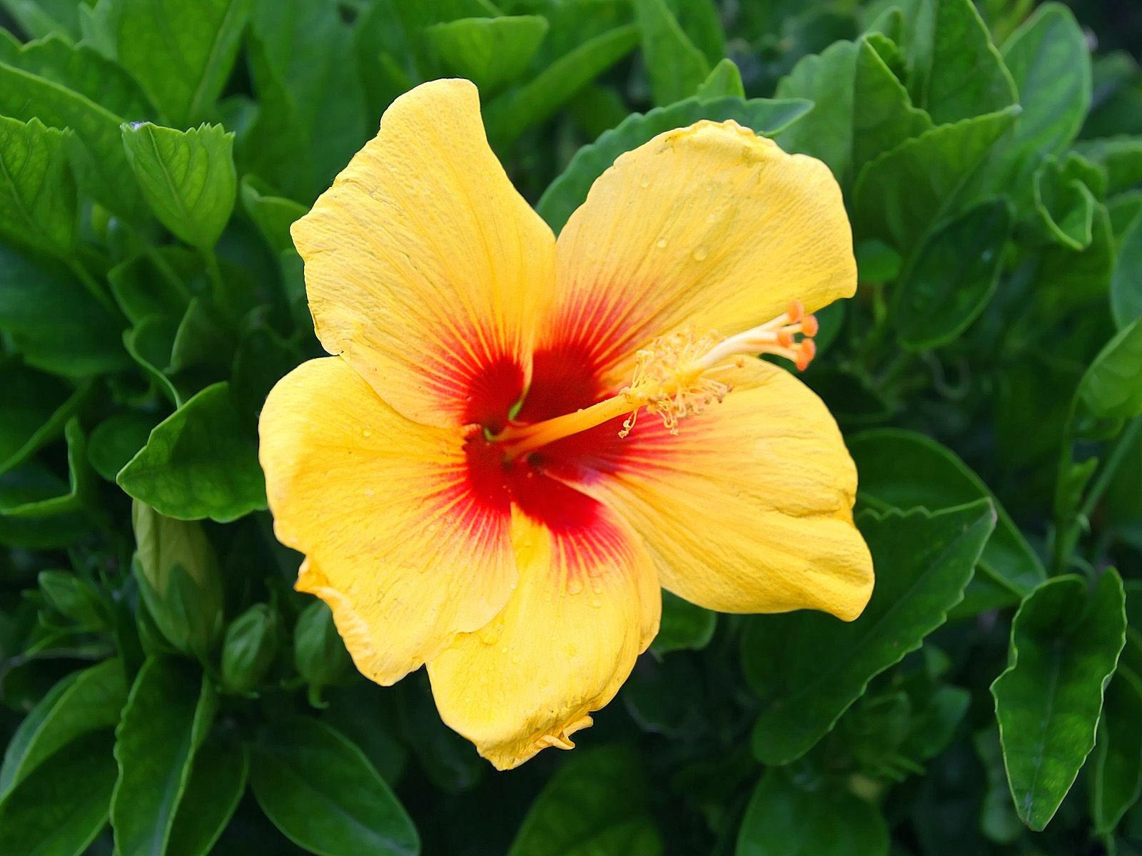 Yellow Hibiscus Flowers Wallpapers | Beautiful Flowers ...