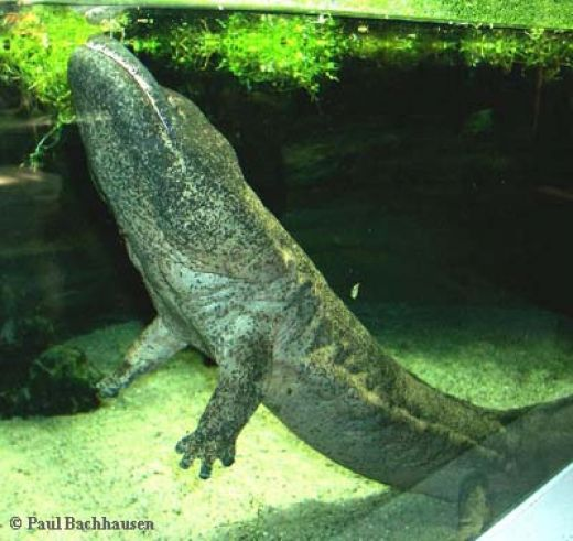 Endangered Species: Chinese Giant Salamander