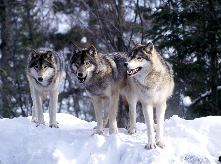 Manada: Guardianes del bosque - Página 4 Wolf_pack