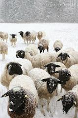 Ich liebe Schafe!!! ♥