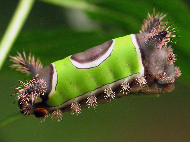 Image Credit Flickr User Mean and Pinchy Caterpillars – the shapes and sizes that they come in and for many the urge to touch, pick up and h...