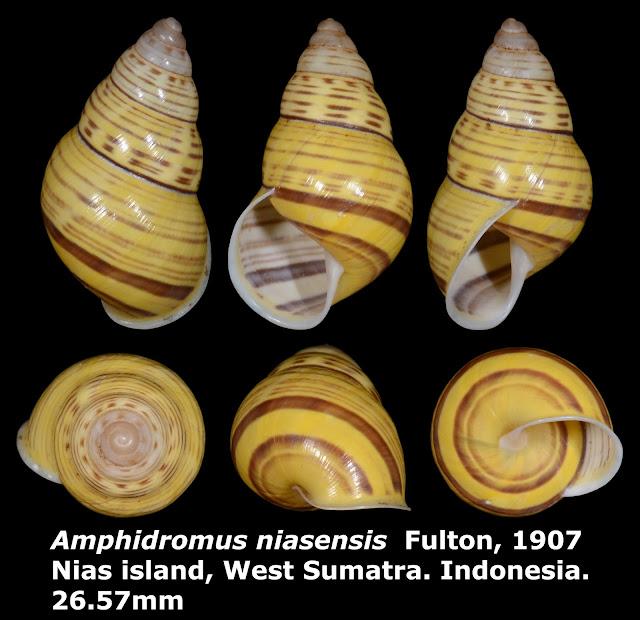 Amphidromus niasensis 26.57mm
