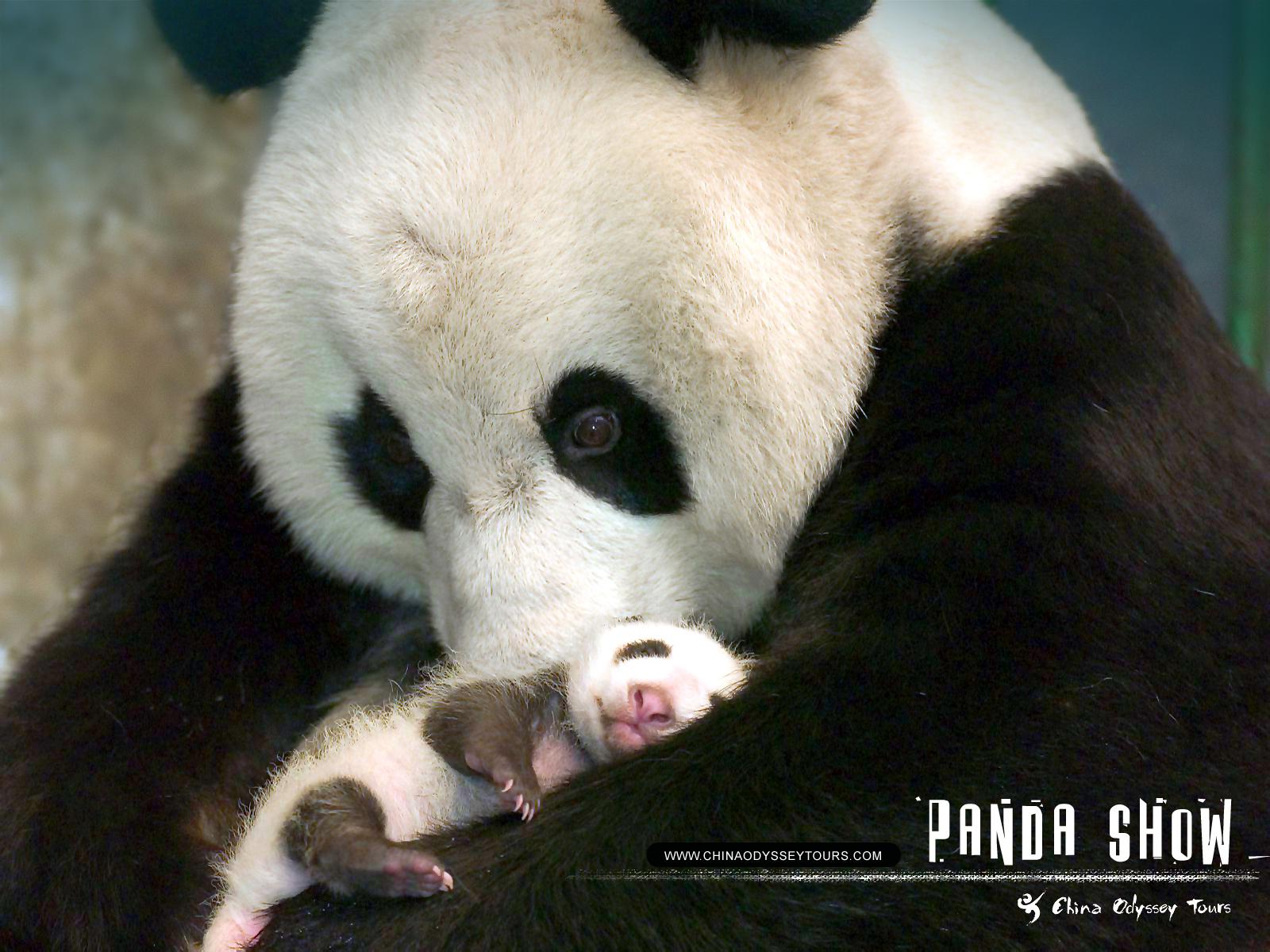Animal Zoo Life: |Panda pics|Panda|Pictures of pandas|Panda ...