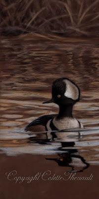 Workin in Progress of Hooded Merganser Painting in Pastel by Colette Theriault