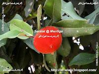 Rupa buah seralat atau mentega yang cukup matang di pohonnya.
