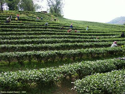 Plantação de chá, Camellia sinensis,  Thea sinensis