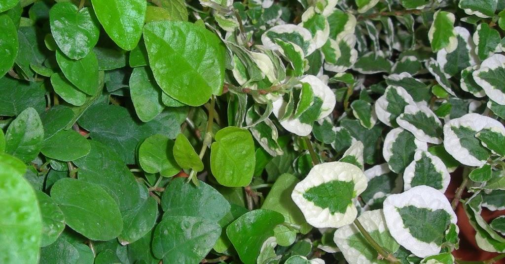 Viveros vangarden ficus rastrero - Plantas trepadoras para muros ...