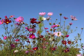 Sommar och rosenskäror mot julihimmel