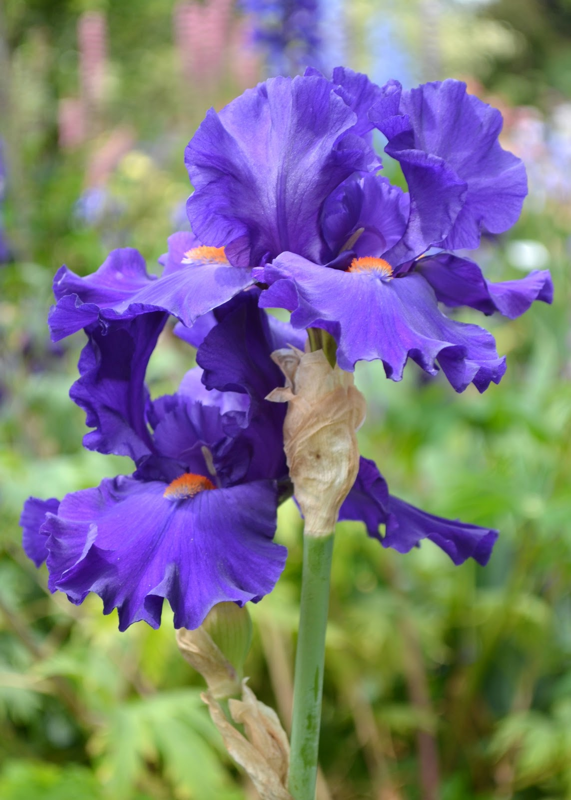 Musings Meanderings And Merriment From Rose Schreiners Iris Gardens