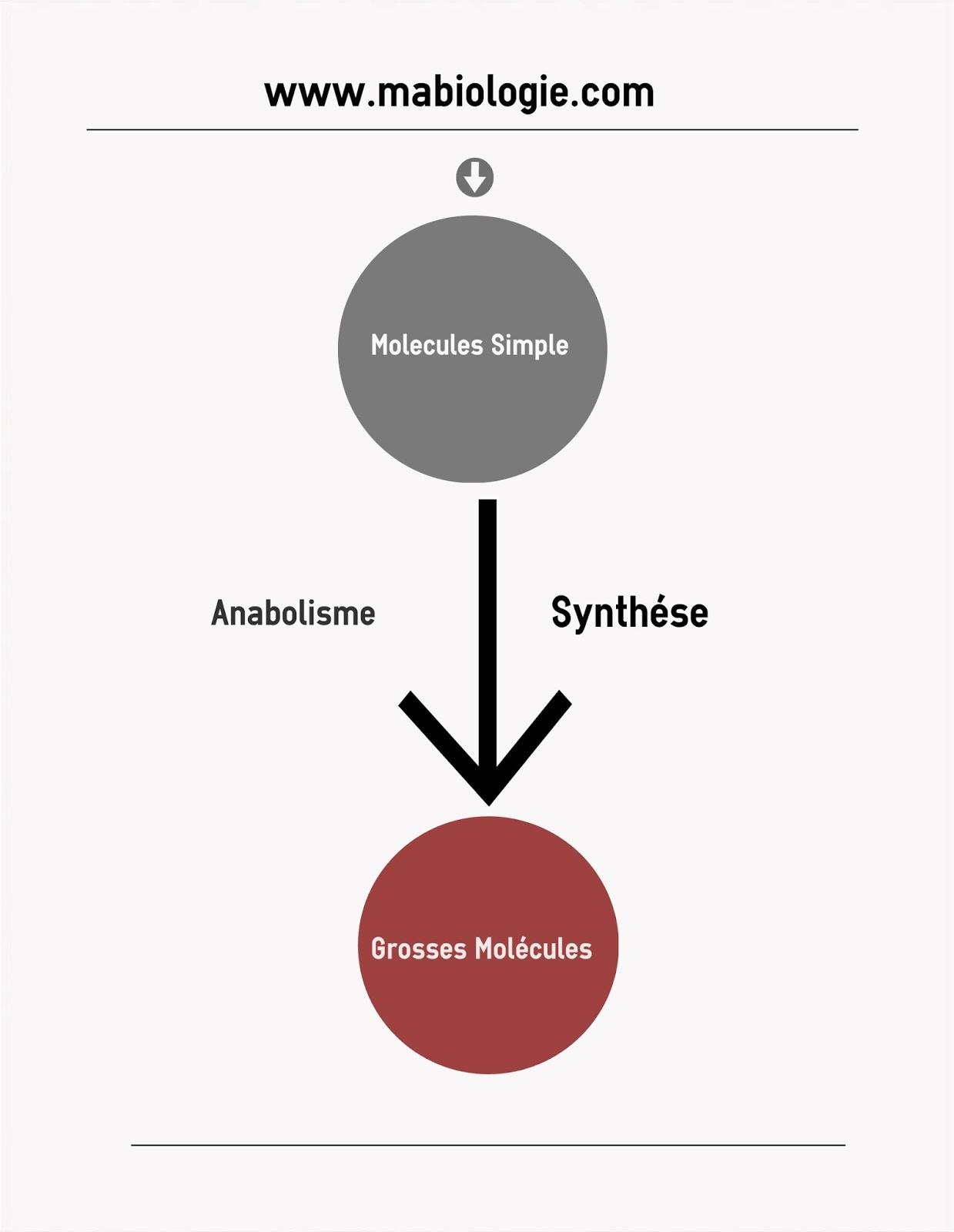 Définition Anabolisme