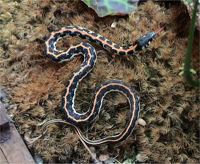 Eastern_Blackneck_Garter_Snake_Thamnophis_cyrtopsis_ocellatus