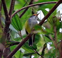 Mountain Tailorbird_2011