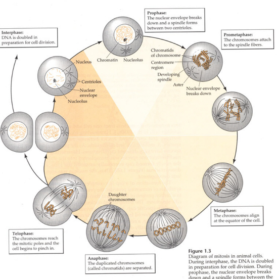 Mitosis on Plant Life Cycle Flip Book