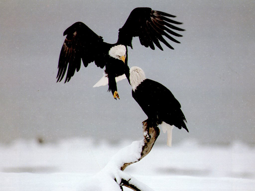 Eagle birds wallpapers entertainment only eagle bird fighting wallpaper voltagebd Image collections
