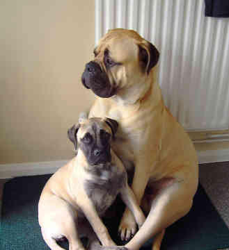 English Bull Mastiff Puppies
