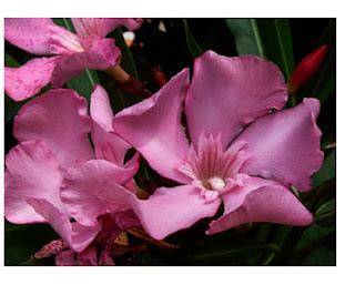 Adelfa, flores Dominguez