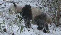 Blog Safari Club, video exclusivo de Osos panda en libertad